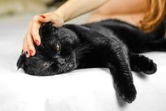 Żeńska ręka muska poważnego czarnego kota z kolorem żółtym ono Przygląda się w zmroku Zdjęcie Royalty Free