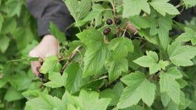 Żeńska ręka podnosi czarnego rodzynku jagody od krzaka zbiory