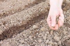 Żeńska ręka sia ziarna w ziemi, wiosny warzywa w ogródzie flancowanie fotografia stock