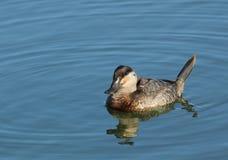 Żeńska Rumiana kaczka Fotografia Royalty Free