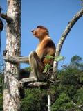Żeńska Trąbiasta małpa w drzewnym Bako parka narodowego malezyjczyku Borneo obraz royalty free