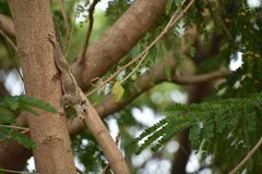 Żeńska wiewiórka Obrazy Stock