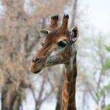 Żeński żyrafa portret Fotografia Royalty Free