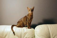 Żeński Abisyński kot fotografia royalty free