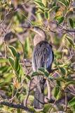 Żeński Anhinga tyczenie na namorzynowym drzewie obraz stock