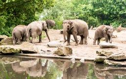 Żeński Azjatyckich słoni Elephas maximus z subadults zbliża staw fotografia stock