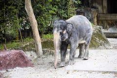 żeński Azjatyckiego słonia Elaphus maximus Obrazy Stock