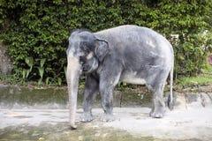 żeński Azjatyckiego słonia Elaphus maximus Obraz Royalty Free