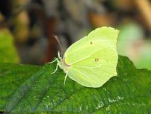 Żeński Brimstone motyl z zamkniętymi skrzydłami Zdjęcia Royalty Free