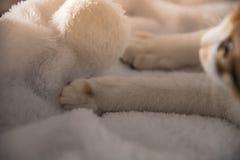 Żeński cycowy kot budzi się na białej koc, zamyka w górę obrazy stock