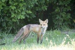 Żeński czerwony lis w łące Obrazy Royalty Free