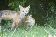 Żeński czerwony lis z swój potomstwami Fotografia Royalty Free