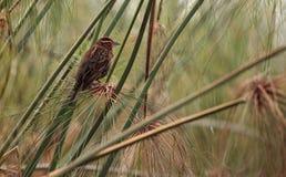 Żeński czerwony oskrzydlony kosa Agelaius phoeniceus Obrazy Royalty Free