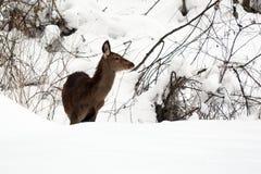Żeński czerwony rogacz w śniegu Obraz Royalty Free