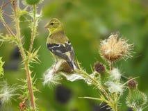 Żeński Finch umieszczający na osetach zdjęcia stock
