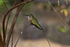 żeński fufous hummingbird Zdjęcia Royalty Free