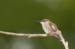 żeński hummingbird Obraz Royalty Free