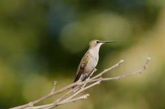 żeński hummingbird Zdjęcia Royalty Free