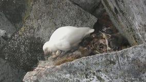 Żeński i puchaty pisklęcy śnieżny sheathbill obsiadanie na rockowej półce dokąd tam jest nasadka zbiory wideo