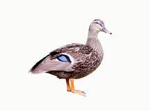 żeński kaczka biel Zdjęcie Stock