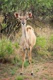 żeński kudu Zdjęcie Royalty Free