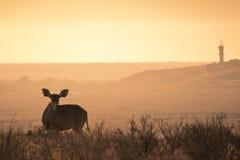 Żeński kudu Tragelaphus strepsiceros gapi się ciekawie przy kamerą w Karoo obrazy stock