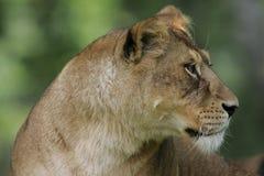 Żeński lew Zdjęcie Stock