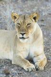 Żeński lew Botswana (Panthera Leo) Zdjęcie Royalty Free