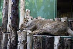 Żeński lew jest sypialny i relaksujący w zoo zdjęcie stock