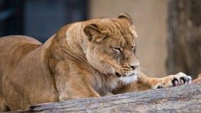 Żeński lwa rozciąganie obrazy royalty free