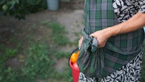 Żeński pnsioner znosi żniwo od jego ogródu Wielki wiadro czerwoni dojrzali pomidory Rolnicza praca zdjęcie wideo