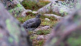 Żeński ptarmigan Lagopus muta odprowadzenie wśród piargu w późnym sierpniu w cairngorms parki narodowi, Scotland zbiory wideo