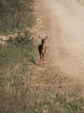 Żeński Steenbok Obrazy Royalty Free