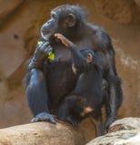 Żeński szympansa i lisiątka portret fotografia stock