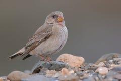 Żeński trąbkarza Finch - Bucanetes githagineus zdjęcia stock