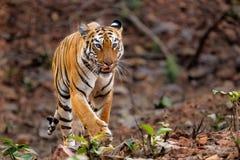 Żeński tygrys w Bandhavgarh parku narodowym w India fotografia royalty free