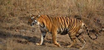 Żeński tygrysi majowia zakończenie up strzelał przy Tadoba parkiem narodowym zdjęcia royalty free