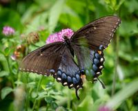 Żeński Tygrysi Swallowtail Makro-, Dorsalny widok obraz royalty free