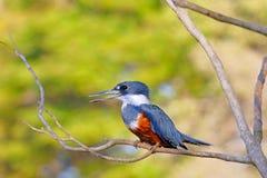 Żeński Upierścieniony zimorodek, Megaceryle Torquata, ampuła i hałaśliwie zimorodka ptak, Pantanal, Brazylia, Ameryka Południowa obrazy stock