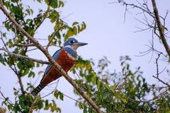 Żeński Upierścieniony zimorodek, Megaceryle Torquata, ampuła i hałaśliwie zimorodka ptak, Pantanal, Brazylia, Ameryka Południowa obrazy royalty free