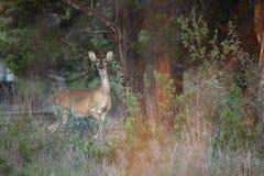 Żeński Whitetail rogacz bierze ochronną postawę fotografia royalty free
