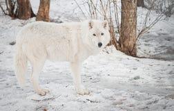 żeński wilk obrazy stock