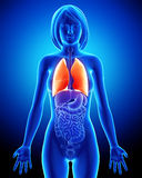 żeńskich płuc oddechowy system Zdjęcia Royalty Free