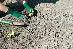 Żeńskie ręki jest ubranym zielone rękawiczki zasadza młode sałat rośliny w świeżo przygotowanym ogrodowym łóżku obrazy royalty free