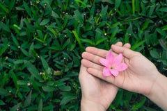 Żeńskie ręki trzyma menchii podeszczowej lelui kwitną z zieleń liści tłem fotografia stock