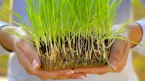 Żeńskie ręki trzymają out garść ziemia z zieloną trawą Pojęcie przyrost, opieka, trwałość, ochrania ziemię zbiory