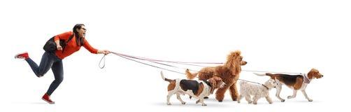Żeńskiego ucznia psa piechur z maltese pudlem, ogara psem, czerwonym pudla, beagle i baseta, zdjęcia royalty free