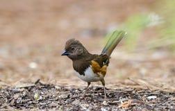 Żeńskiego Wschodniego Towhee łasowania ptasi ziarno, Ateny dziąsła, usa Zdjęcie Stock