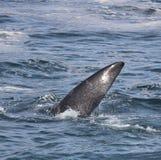 Żebro Południowy Prawego wieloryba dopłynięcie blisko Hermanus, Zachodni przylądek afryce kanonkop słynnych góry do południowego  zdjęcia royalty free