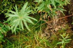 Żmii błonie pospolita Europejska żmija lub pospolita żmija, jest niezwykle pospolitym typem jadowita żmija W iglastym lesie  fotografia royalty free